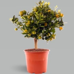 Orange Plant Darjeeling