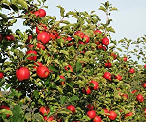 honeycrisp apples, apple, apples, apple tree
