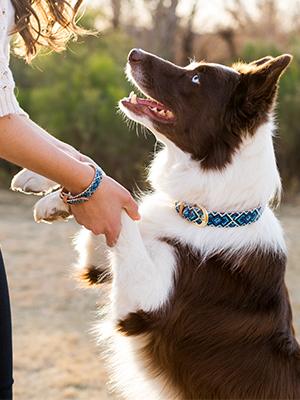friendshipcollar border collie cute dog
