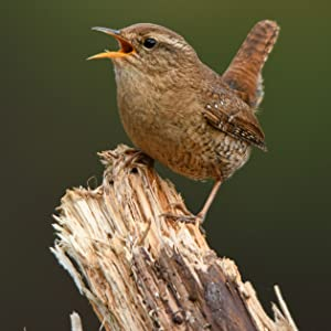 A wren that would be attracted to our Small Wakefield Birdhouse