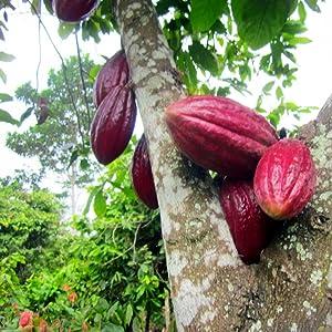 Addictive Wellness Arriba Nacional Cacao Cocoa Chocolate Tree