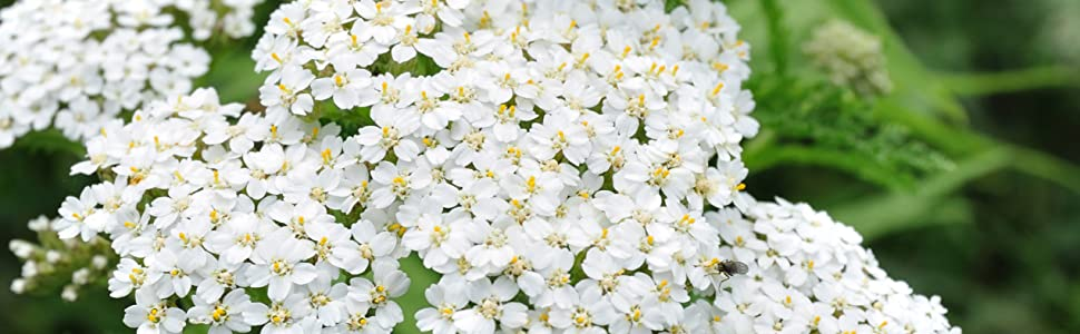 white yarrow seeds for planting