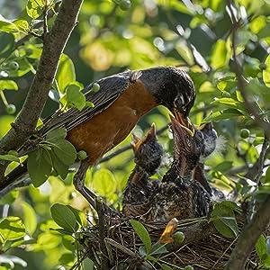 Nesting Bird feeding her baby birds in the bird nest up in a tree