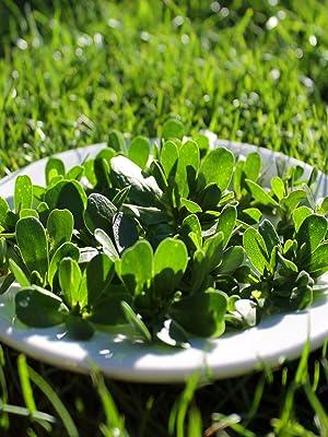 purslane herb seeds