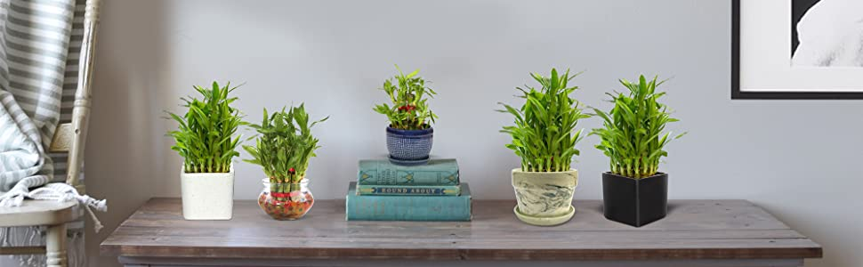 lucky bamboo tree plants for home indoor and desks with ceramic pot and glass vase bowl for decor