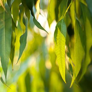 eucalyptus lovage root pure organic