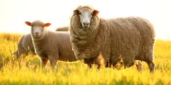 Advantage Of Merino Wool