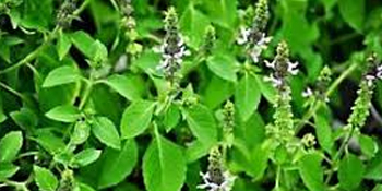 holy basil leaf holy basil supplement organic holy basil holy basil organic supplement, tulsi seeds