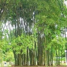 material natural bamboo