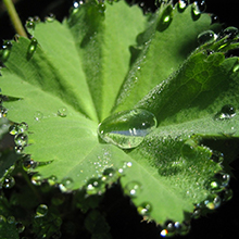 lady mantle extract