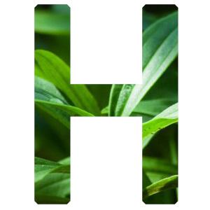 health,shampoo,natural,Saponaria Officinalis