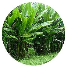 Manila Plant Abaca