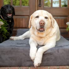 Made in USA! Labrador on Big Barker Orthopedic Large Dog Bed