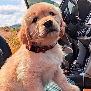 dog collar, pet accesories