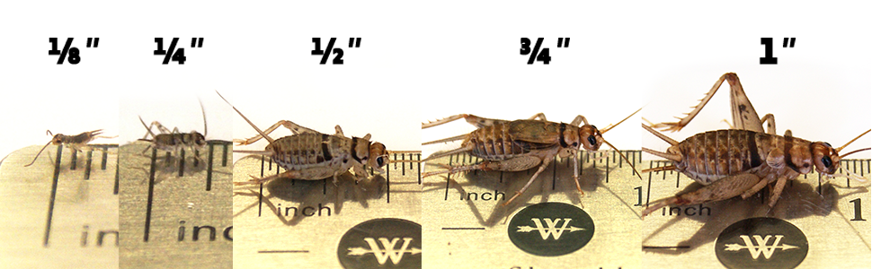 cricket sizes