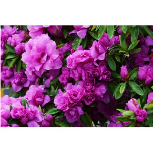 ideal for acid loving plants rhododendrons azaleas