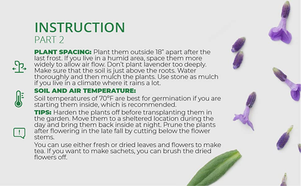 lavender herb seeds indoor outdoor planting