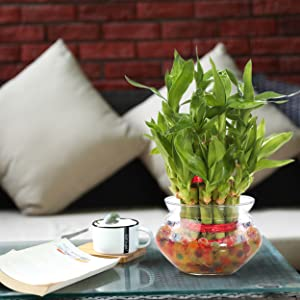 bamboo plant for home decor indoors with glass bowl pot
