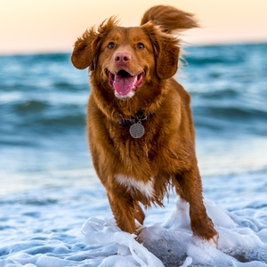 Happy healthy dog running along the edge of the sea