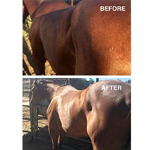 forco pellets, forco supplement, probiotics horse, forco feed probiotics for horses, probiotic horse