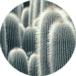 サボテンシードオイルの特徴