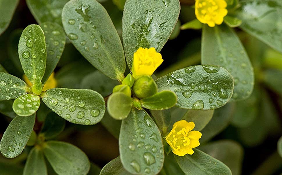 green purslane herb seeds for planting outdoors indoors