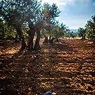 08:00 am.Amanece nos vamos al olivar.  Recogida  al vuelo para proteger al fruto.