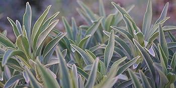 white sage seed non gmo smudge stick plants heirloom organic