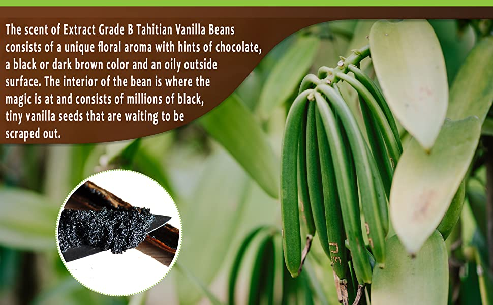 Fresh vanilla beans real extract baking cook vanilla sticks bulk Madagascar Tahitian bourbon