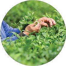 green tea fields organic matcha