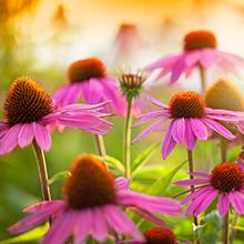 echinacea, echinacea angustifolia, echinacea purpurea, immune boost, immune vitamins, coneflower,