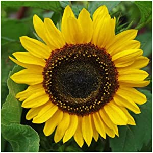 Henry Wilde sunflower seeds for planting