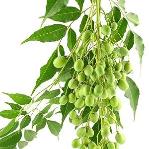 Neem Leaves + Fruit