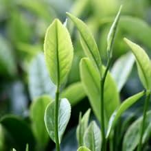 شجرة الشاي زيت القيقب