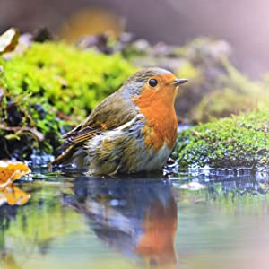 A beautiful robin bathes in a pond showing off it's orange underbelly in the sun
