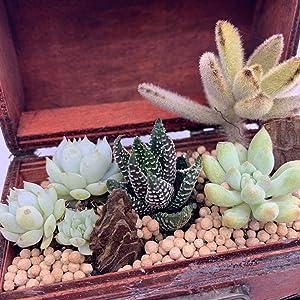 伊豆シャボテン本舗 観葉植物 サボテン 多肉植物 寄せ植え 宝箱ケース入り(木製)植木鉢 卓上 雑貨