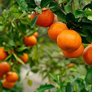 orange, mandarin orange, orange tree