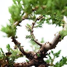 bonsai tree liquid fertilizer perfect plants nursery