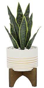"""4.75"""" Snake plant"""