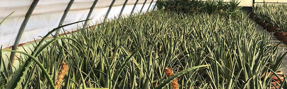 Aloe piante