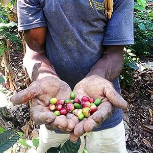 haitian coffee cherries