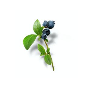 wild canadian blueberries