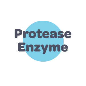 Protease Enzyme