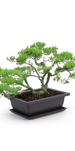 Bonsai Training Pots (Click Here)