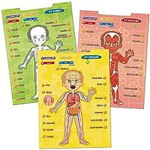 circulatoria cuerpo humano Músculos digestivo sistemas Huesos Esqueleto esqueléticos Niño Preescolar