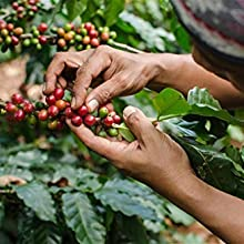 oorsprong van koffie