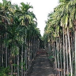 Areca palm leaf trees
