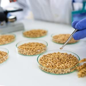 lab testing wheat berries in small dishes for quality, safety, and consistency for sprouting baking
