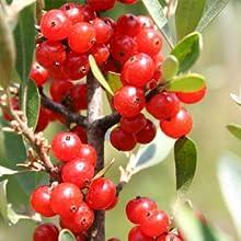 bearberry, organic glutathione, herbal skin whitening capsule, herbal glutathione, glowsik