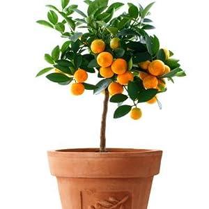 orange tree, calamondin orange tree